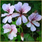pelargonium species