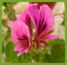 pelargonium multicaule