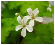 Scented Pelargonium species